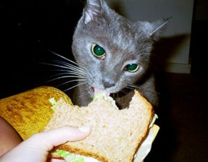 Ce chat mange un sandwich vegan :P
